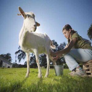 شیر بز دارای چه ارزش غذایی است؟